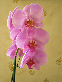 BIA - orchid-1