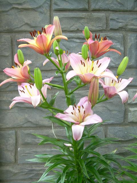Hybrid Lily 2008-1