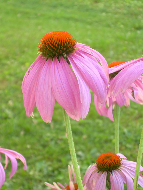 SP - Purple Coneflower-1