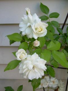 Rose Garden 2008 4-1