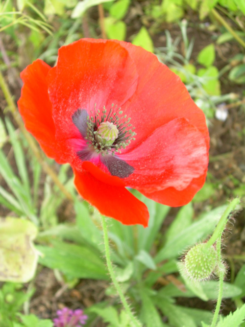 Simple Pleasures - Poppy-1