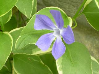 SP - Vinca Blossom-1
