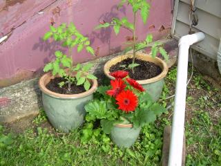 Tomato_pots_in_corner1