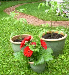Tomato_pots_in_grass1