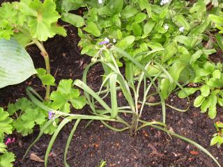 Purple_spiderwort1
