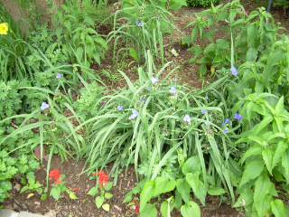 Spiderwort_full1
