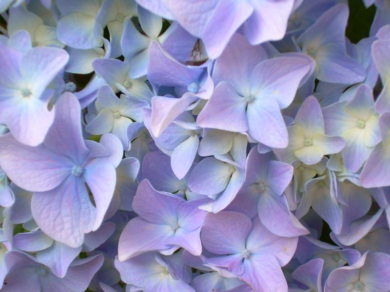 Hydrangea_blossom1