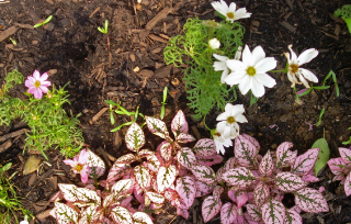 Cosmos_seedlings1