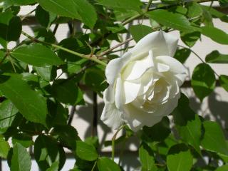 Rose_blossom1