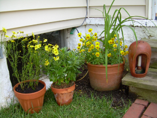 Yellow_coreopsis1