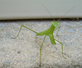 Praying_mantis1
