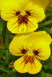 Violas_with_raindrops1