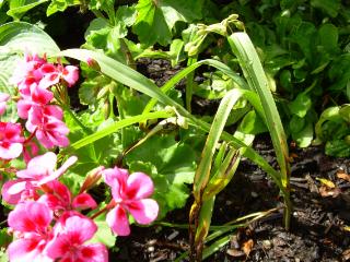 Spiderwort_0713071