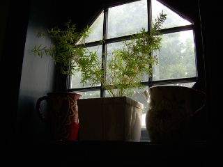 Asparagus_fern_window1