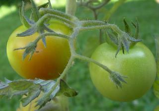 Cherry_tomato_31
