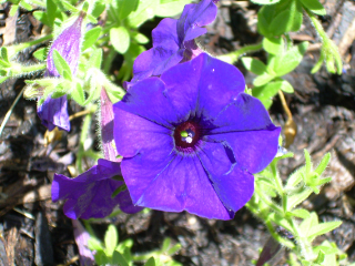 Purple_petunias1