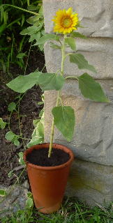 Potted_sunflower1