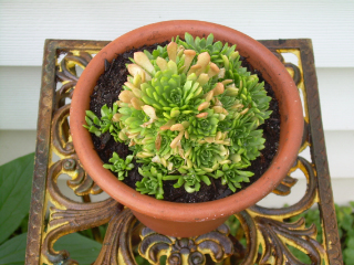 Rosularia_with_babies1
