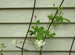 Rose_garden_overview_81
