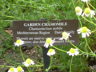 Lwg_garden_chamomile1