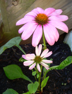 Coneflower_buddies1
