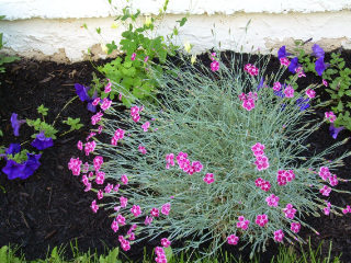 Sb_review_dianthus1