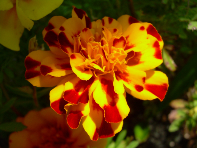 Sp_safari_bolero_marigold1