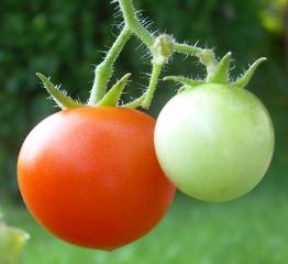 Cherry_tomatoes1