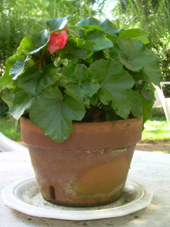 Oe_rieger_begonia1