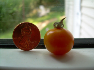 Tiny_small_fry_cherry_tomato1