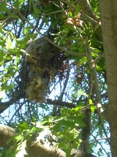 Ijv_birds_nest1