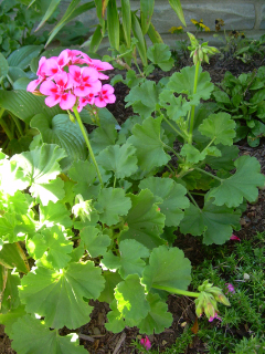 Geraniums_going_strong_11