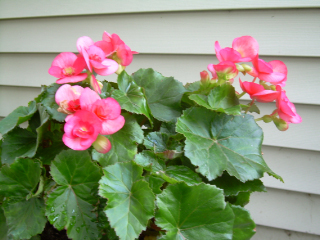 Ndy_rieger_begonia1