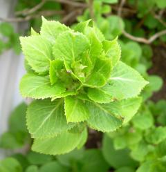 Ib043008_hydrangea_leaf1