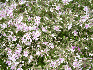 Ib043008_phlox_mountain_pinks1